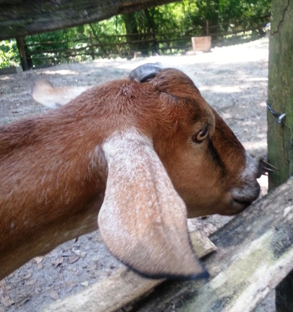 Leroy the Goat at Middleton Place is playful and productive with milk used to make soap and other goods sold on the plantation.